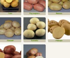 Агрофирма «Слава Картофелю»